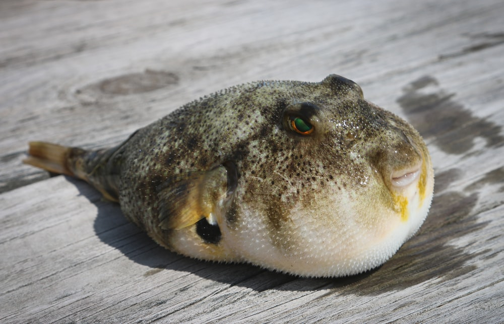 puffer fish on wooden panel