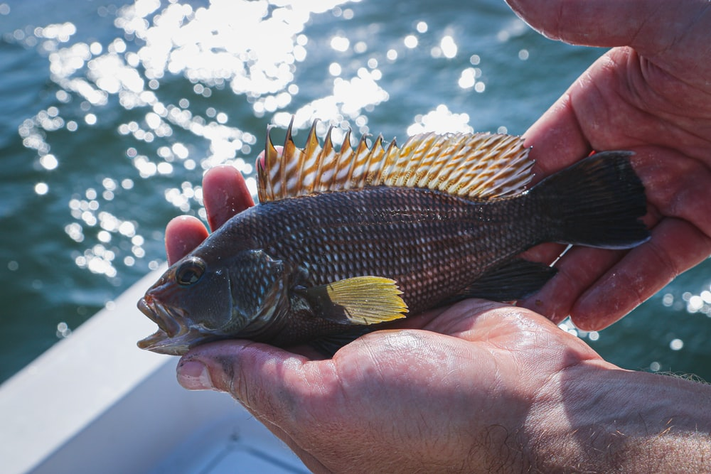 gray fish with yellow fins on person's hand