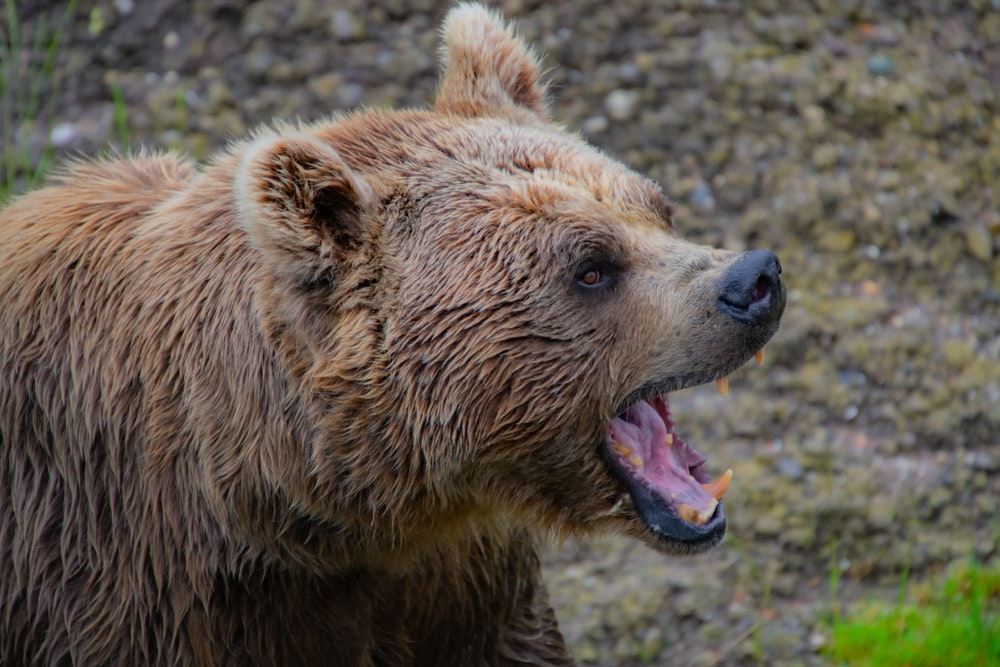 grizzly bear roars at the forest
