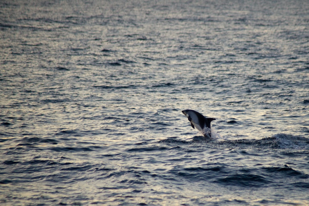dolphin on sea at daytime