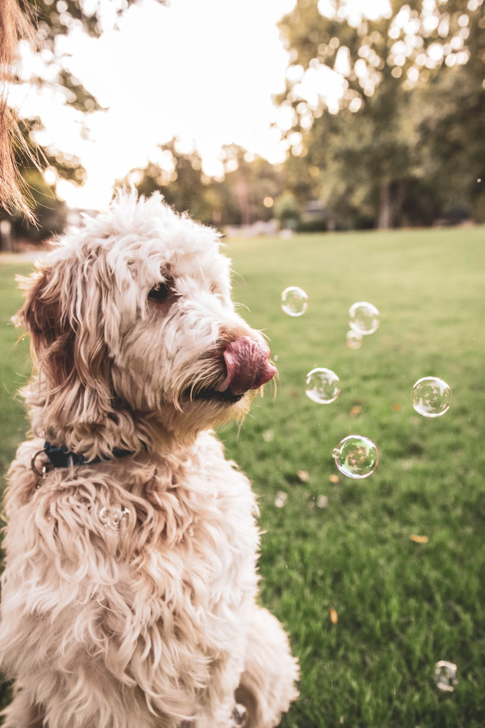 dog sitting on grass with bubbles