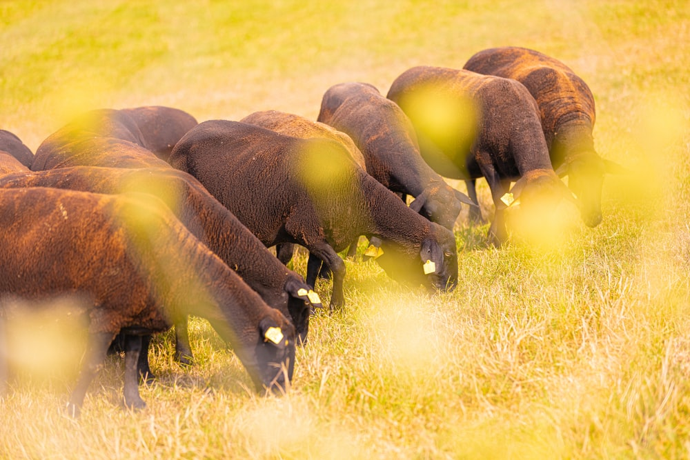 brown cattle eating grasses during daytime