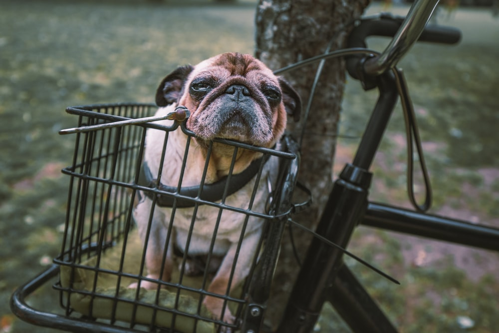 adult fawn pug in bicycle basket