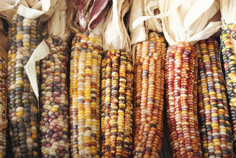 corn cob lot