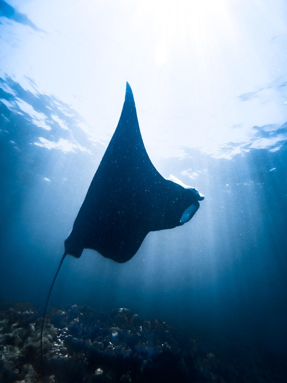 black stingray underwater