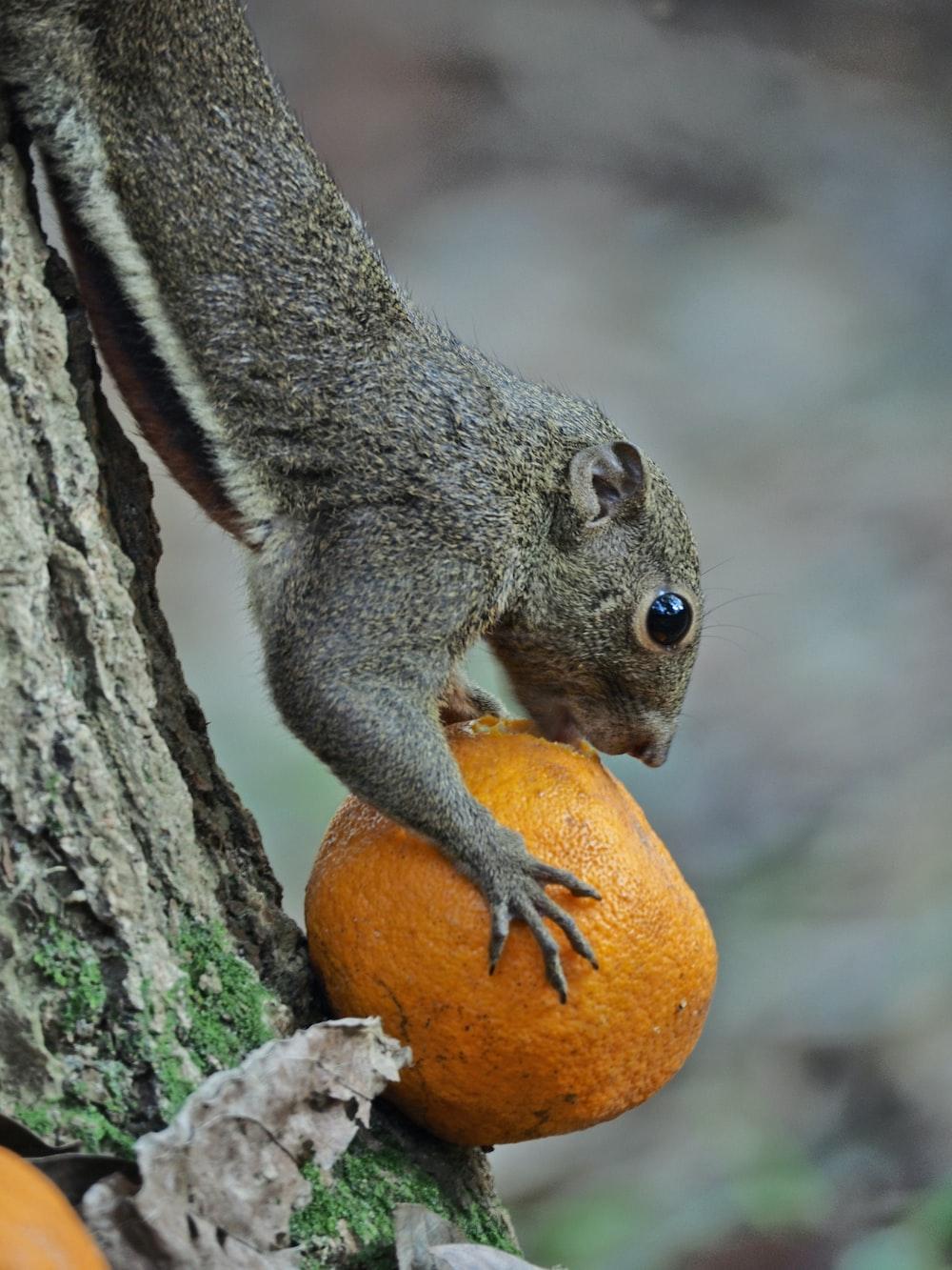 grey rodent eating orange fruit