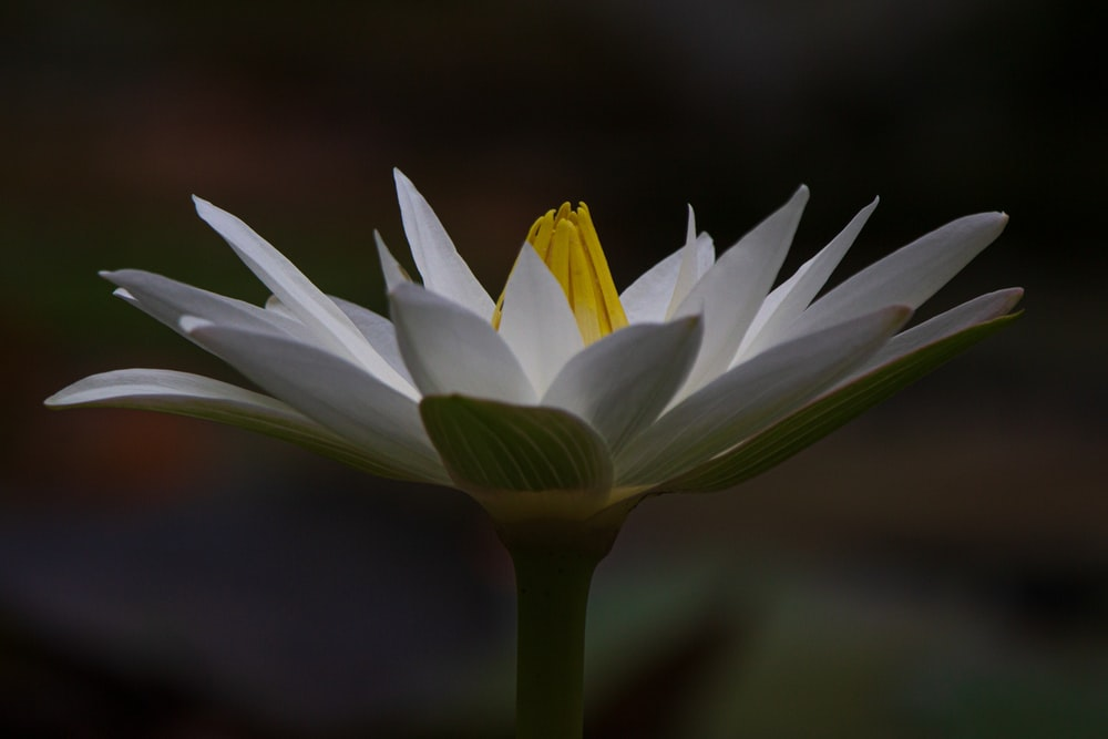 macro photography of white and yellow lotus flower