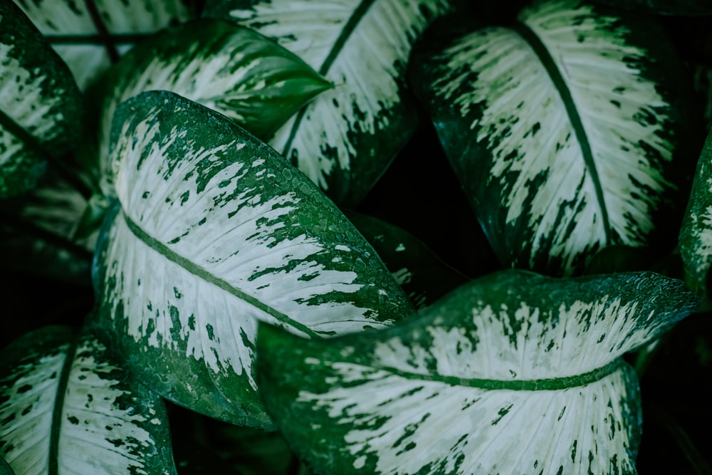 shallow focus photography of green dumb cane plant