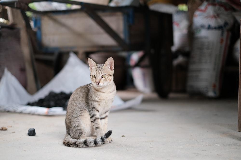 gray tabby cat sitting on flooring
