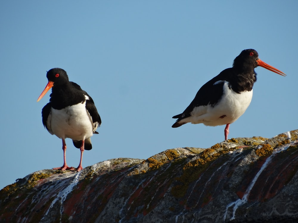 two black and white oystercatcher birds