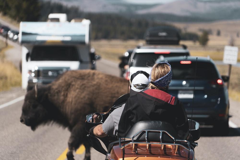 brown bison on road