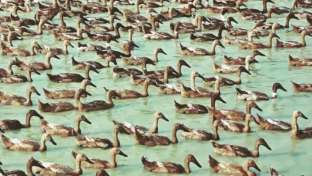 group of brown ducks