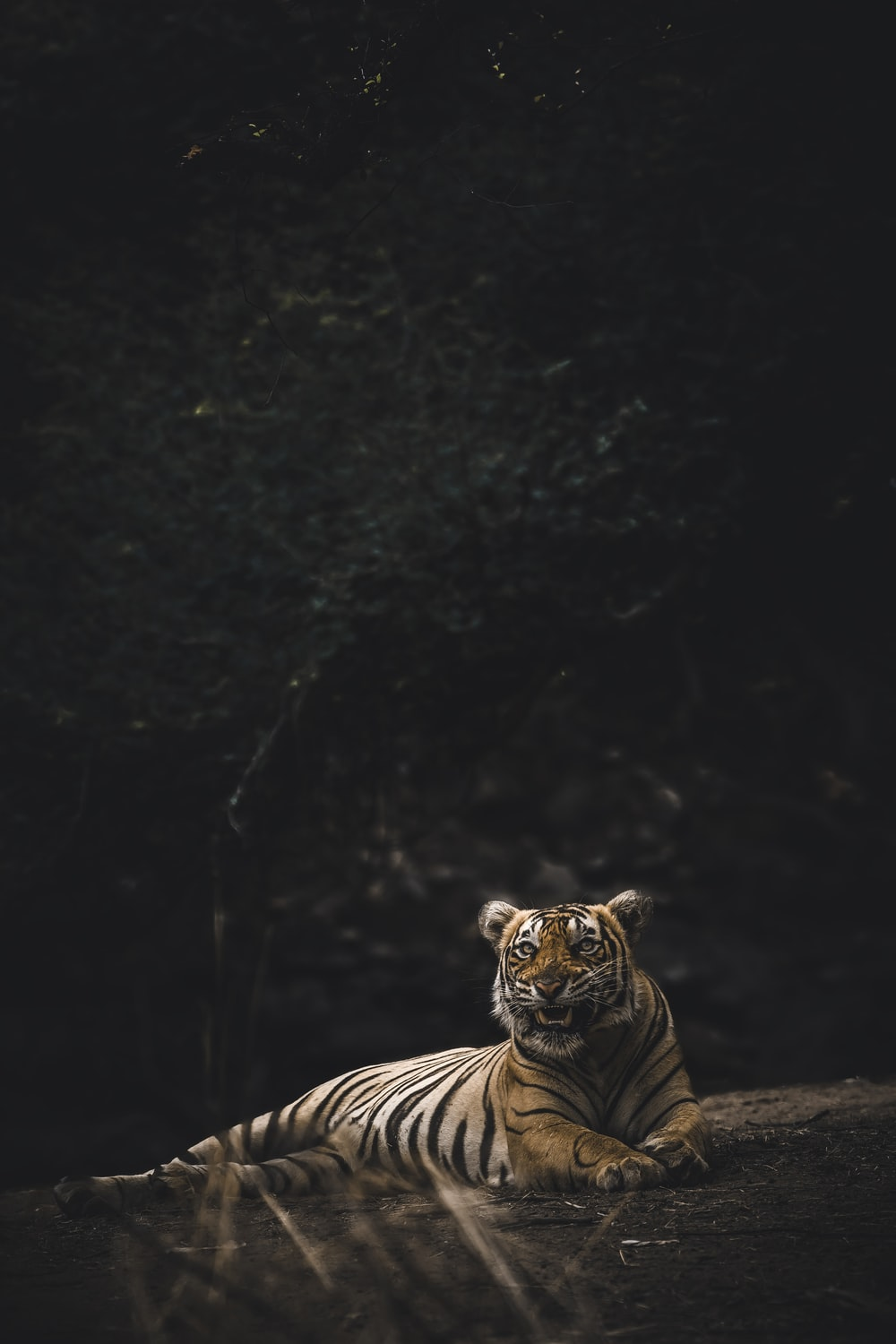 Tiger Pictures Download Free Images Stock Photos On Unsplash