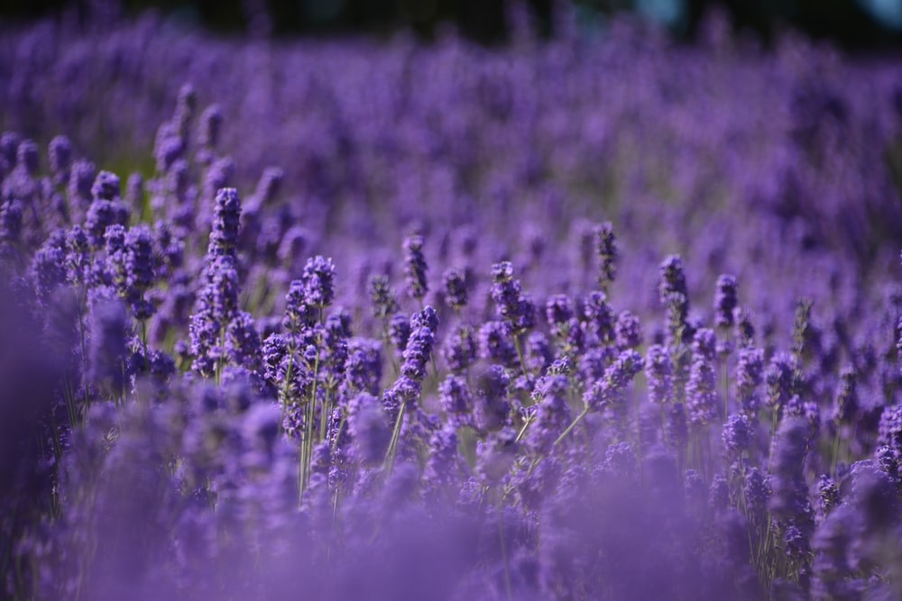bed of lavender flowers