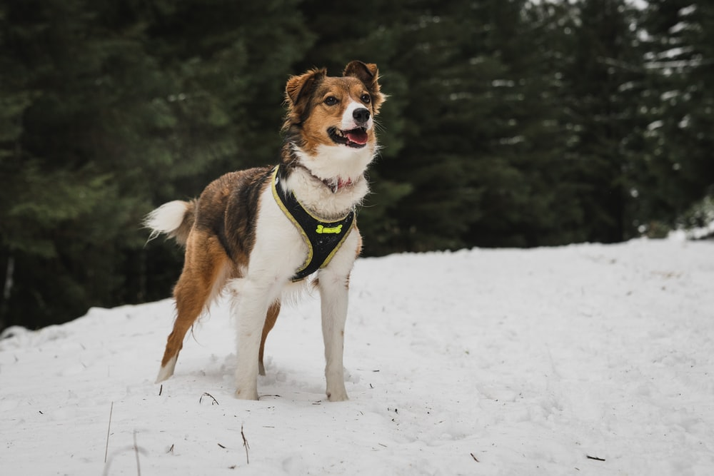 brown and white dog standing on snow