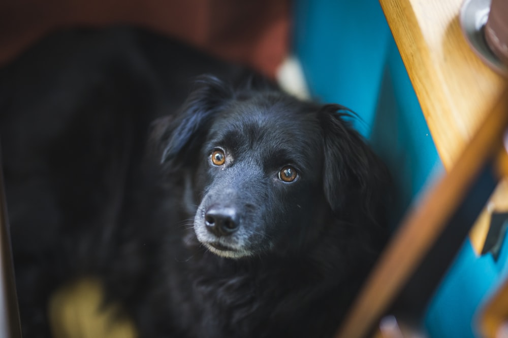 black dog leaning on blue table
