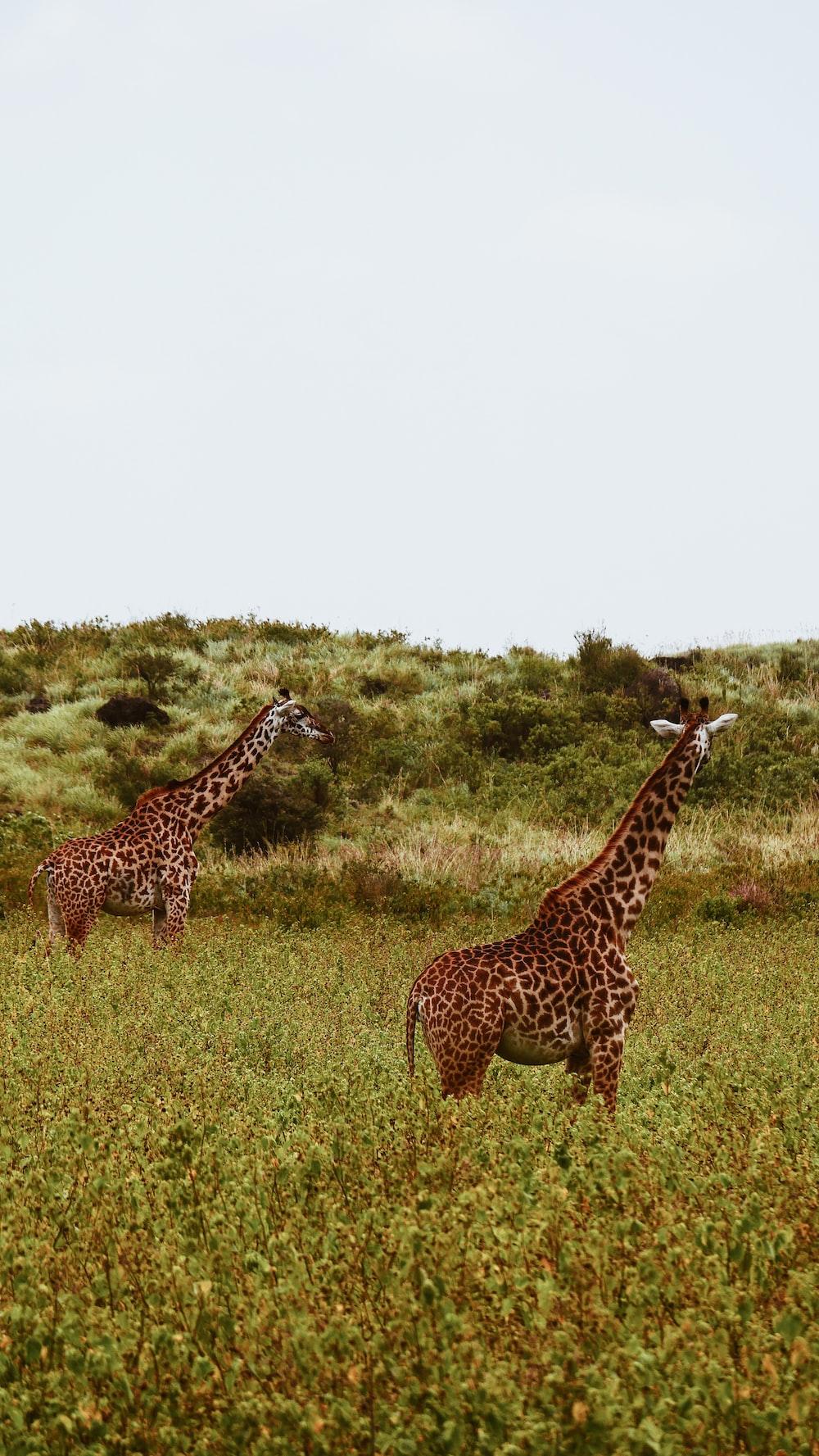 two giraffes on grass