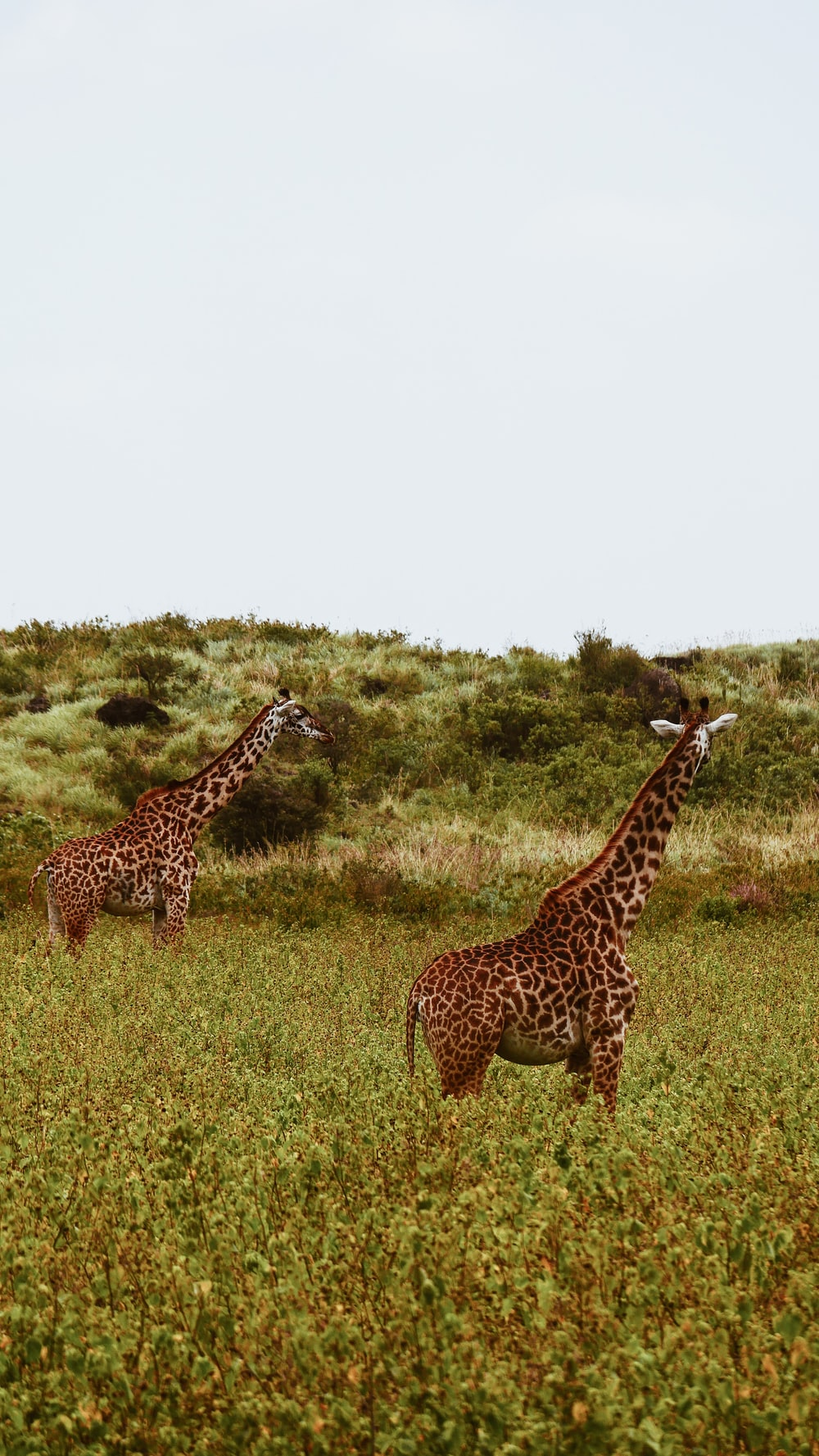 two giraffes on grass