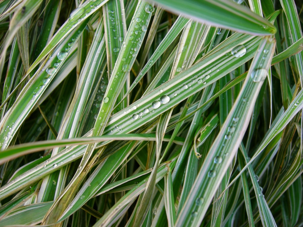 dew on linear leafed grass