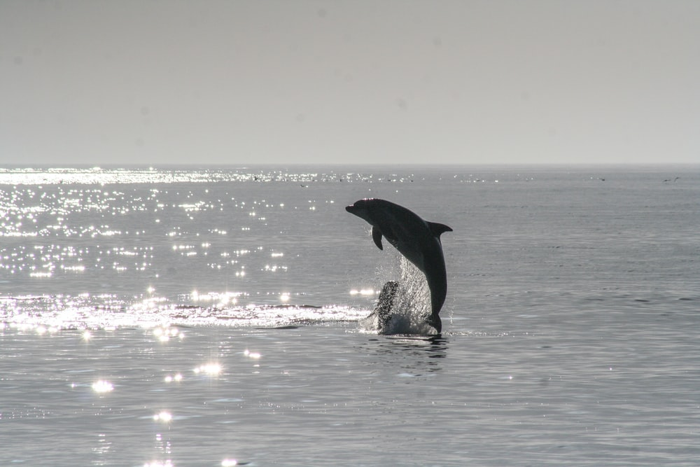 dolphin jumping out of the sea during day