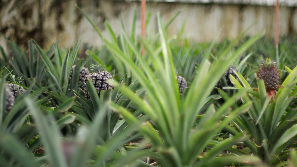 green pineapples