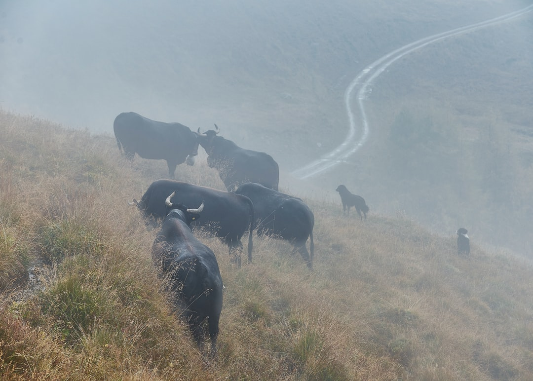 Cows in the fog Cows at the highlands of Hérens at the Alpage des Lachiores.