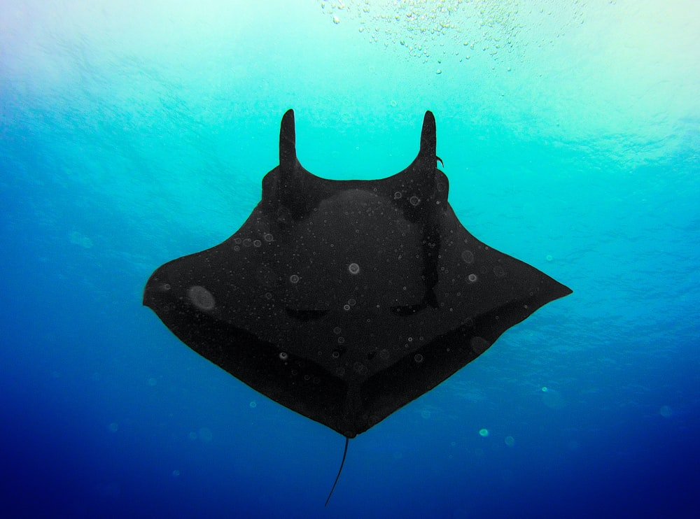 black stingray