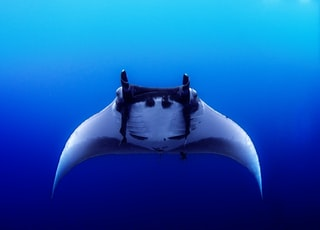 black sting ray