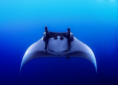 black sting ray