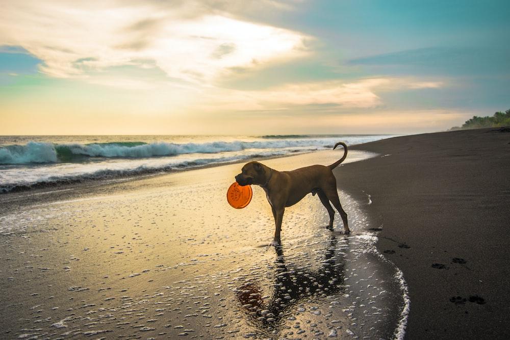 dog with orange frisbee in seashore