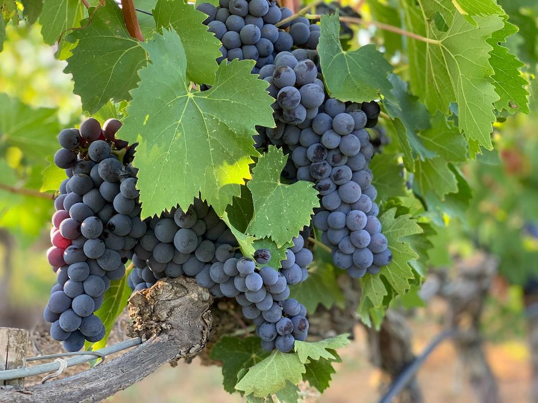Grapes, Montalcino, Tuscany