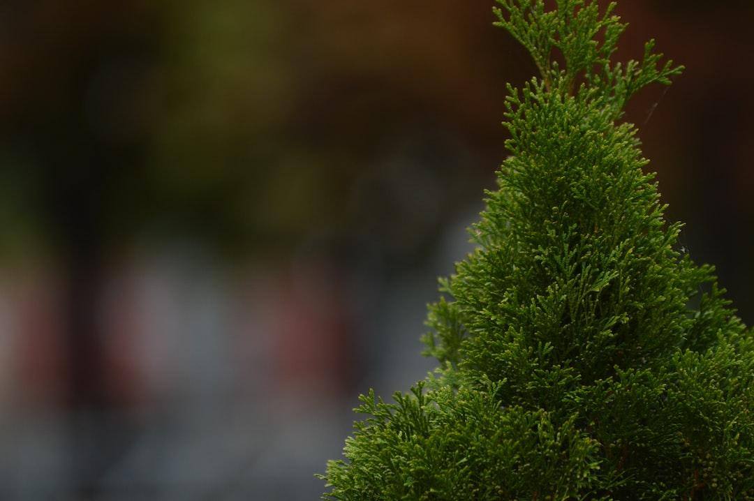 thuja,  boulevard,  autumn,  bush