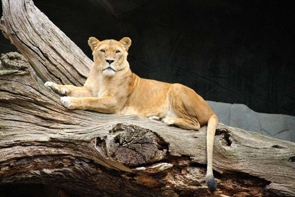 adult lioness lying on tree log