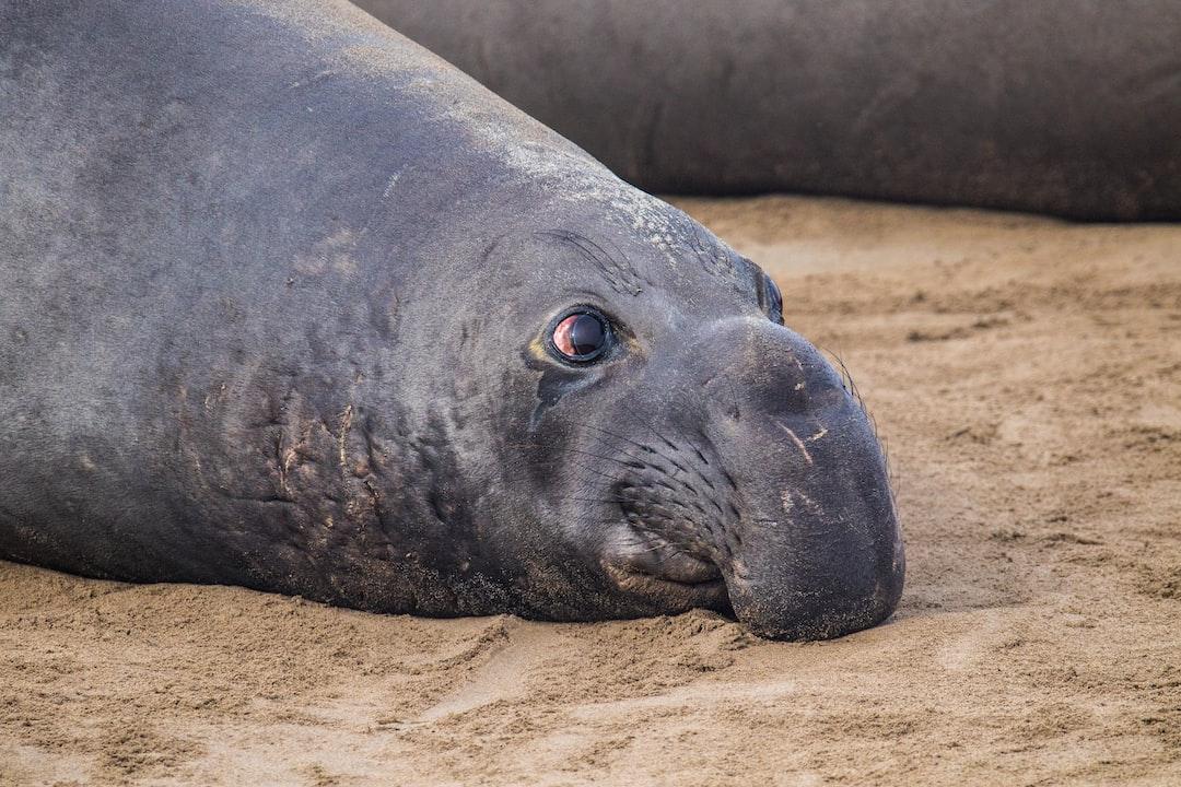 Seal Elephant, Ano Nuevo State Park, California