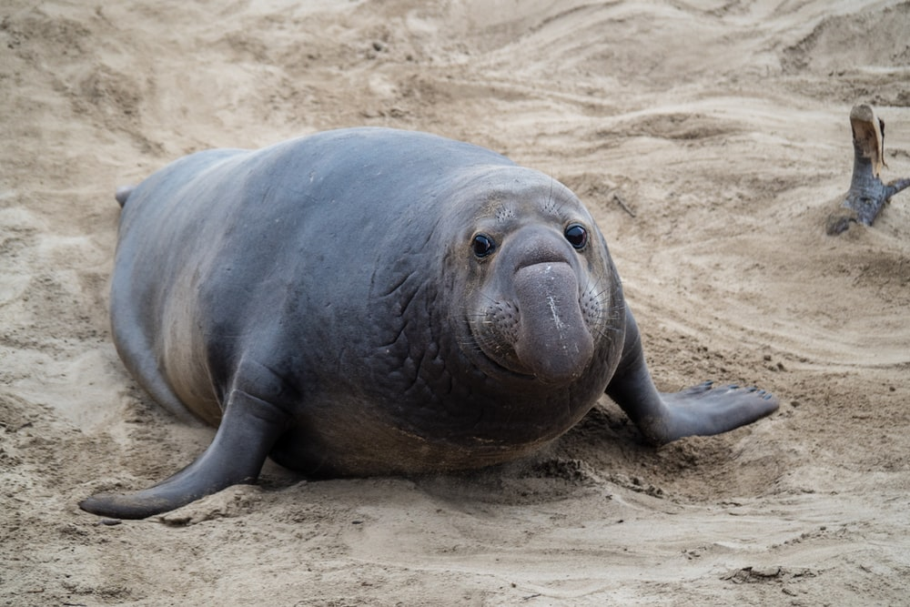 gray seal on sand