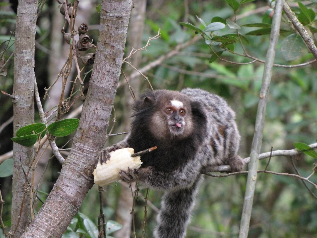 Marmoset eating banana in the wild
