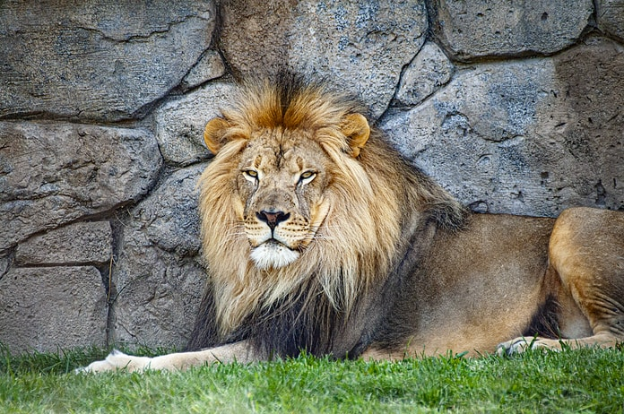 adult lion resting beside wall