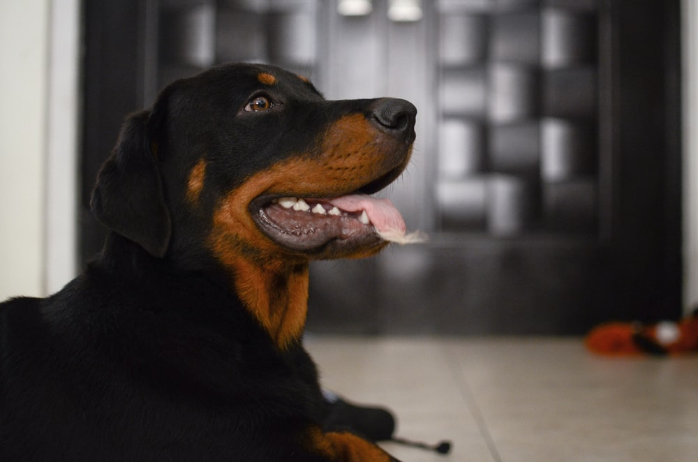 black and brown Rottweiler