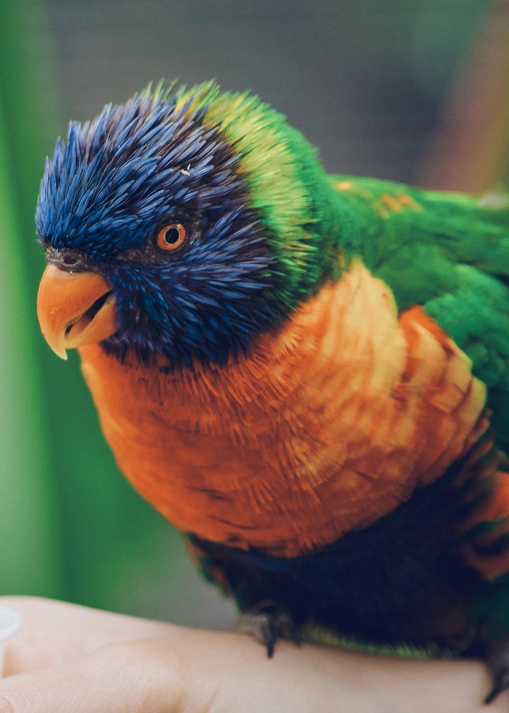macro photography of Rainbow lorikeet bird