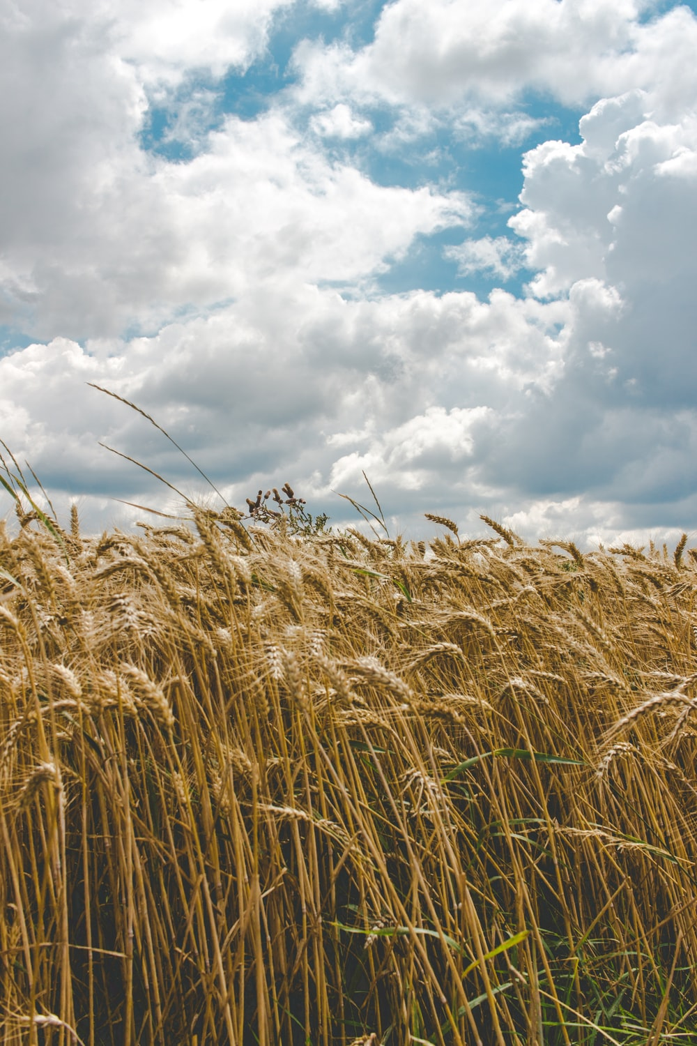 wheat field during day