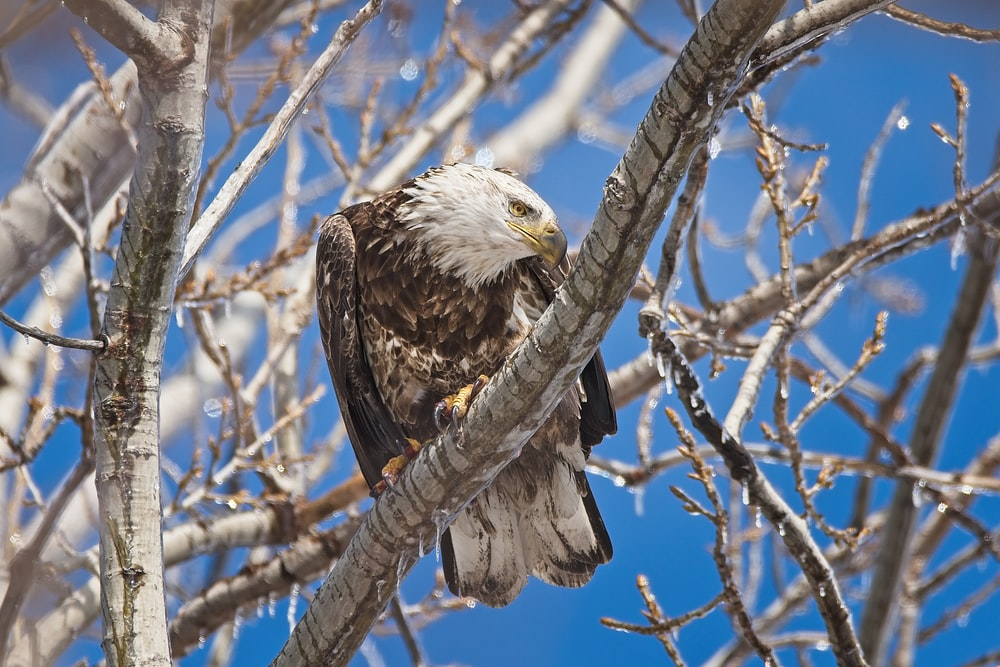 wildlife photography of eagle perching on tree brand during daytime