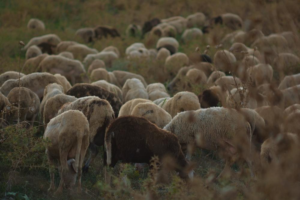 group of sheep