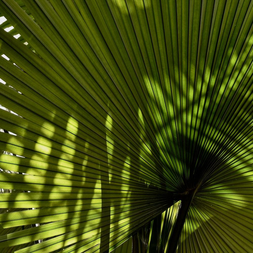 fan palm plant