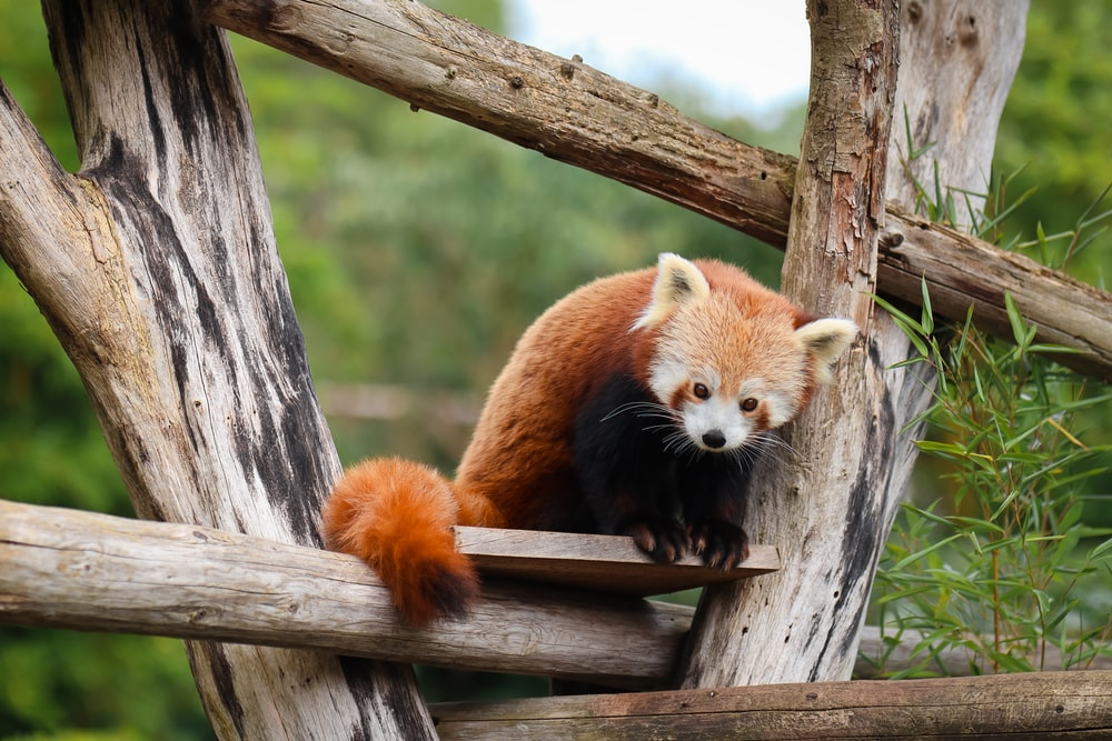 adult red panda on wooden board
