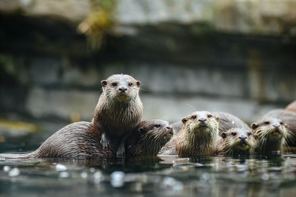 group of otters on body of water