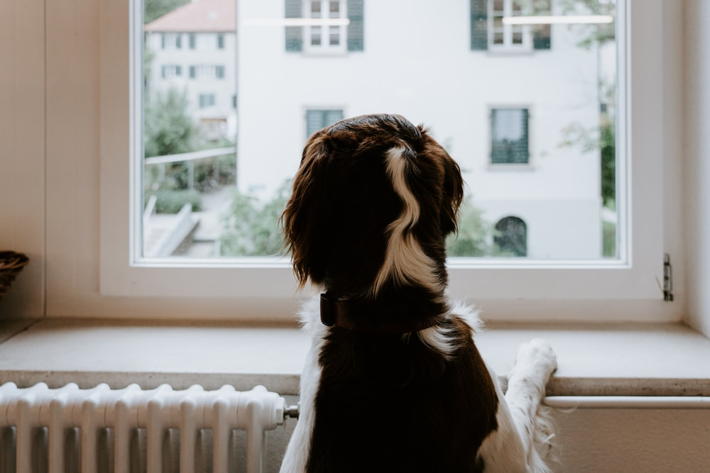 tricolor dog on window