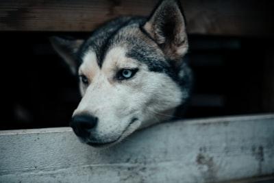 adult siberian husky photo canine zoom background