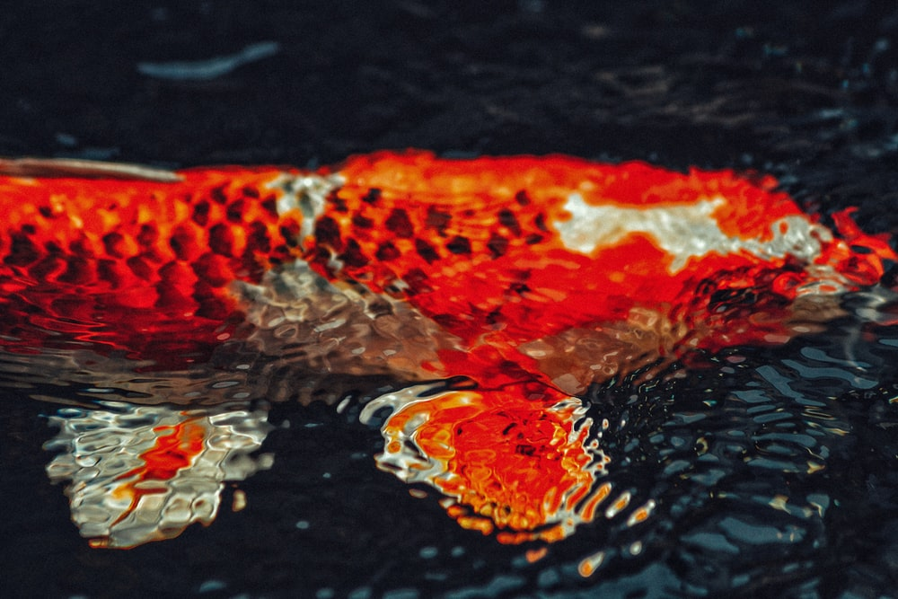 close-up of white and orange carp