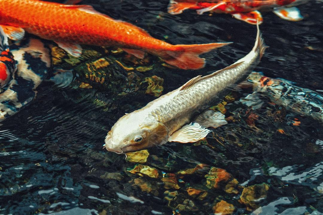 Kolam Ikan Koi Harus Sering Diperhatikan