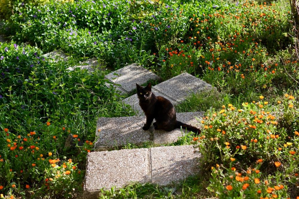 Bombay cat sitting on pavement